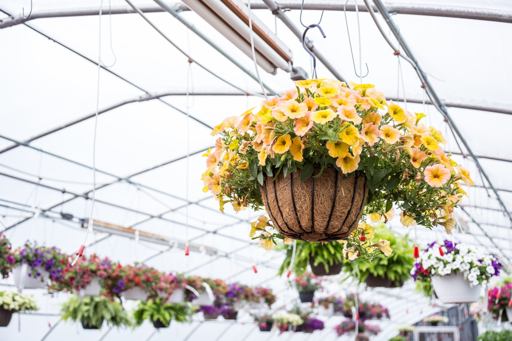 Hanging-Flowers-at-Freys-Greenhouse-Lancaster-PA