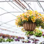 Hanging-Flowers-at-Freys-Greenhouse-Lancaster-PA