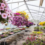 http://freysgreenhouse.com/wp-content/uploads/2015/07/Lots-of-Flowers-at-Freys-Greenhouse-in-Lancaster-PA.jpg