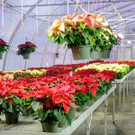 Frey's Greenhouse Hanging Basket of Poinsettias